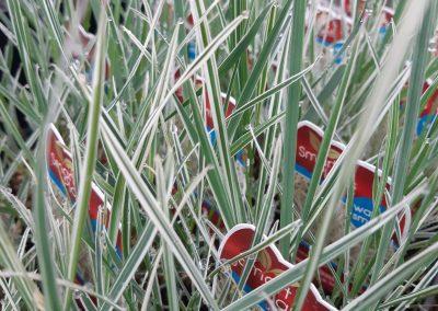 variegated shade grass