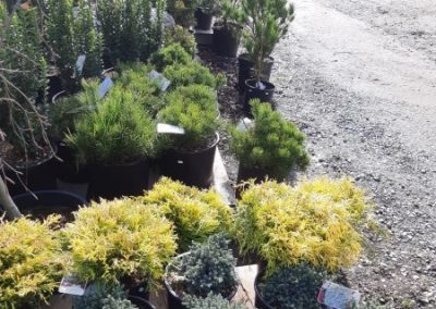 conifers ~ all sizes