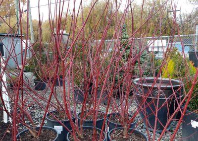 Cornus - Red Twig