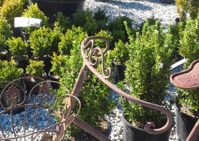 Boxwood small & large