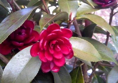 Camellia Black Ruby