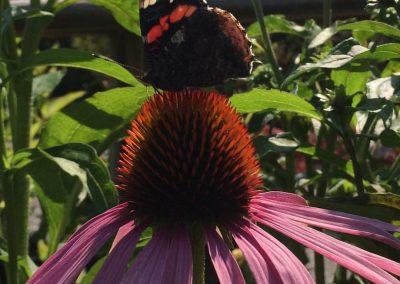 Echinacea major