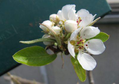Pear blossom ~ Bartlett