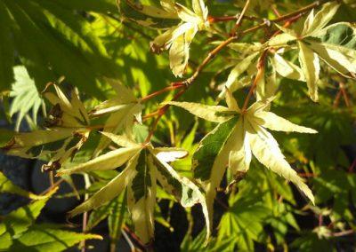 Acer palmatum variegated leaf