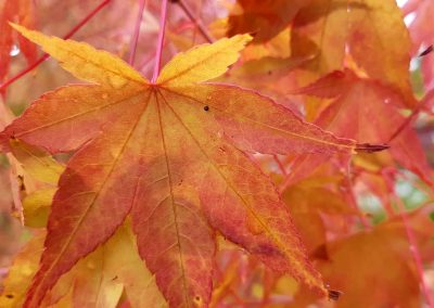 Acer fall colour