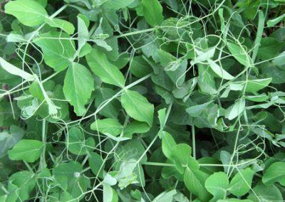 Fresh Peas ~ an annual vine