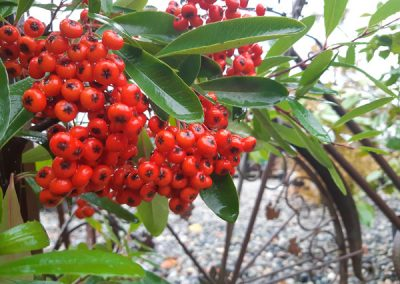 Pyracantha for the Bees and Birds